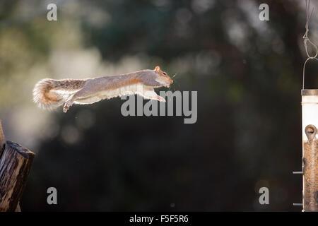 L'écureuil gris Sciurus carolinensis; saut unique au convoyeur d'alimentation; Cornwall, UK Banque D'Images