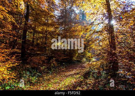 Les couleurs de l'automne dans la forêt, les arbres d'automne, feuillage, près de Boppard, vallée du Rhin, Allemagne Banque D'Images