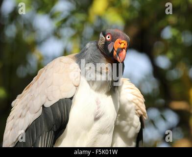 Portrait d'un vautour pape Banque D'Images