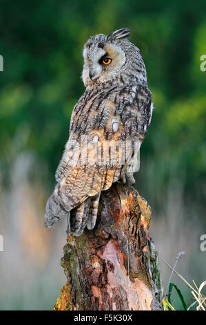 Long-eared Owl (Asio otus / Strix otus) regarder en arrière à partir de la souche d'arbre dans le pré au bord de Banque D'Images
