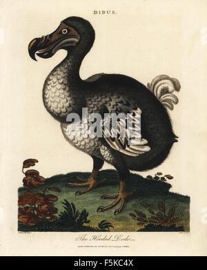 Raphus cucullatus Hooded dodo, éteint, oiseaux coureurs. La gravure sur cuivre coloriée par John Pass après George Edwards de John Wilkes' Les Fleurs du Mal/1861/Sépulture Encyclopédie, Londres, 1803.
