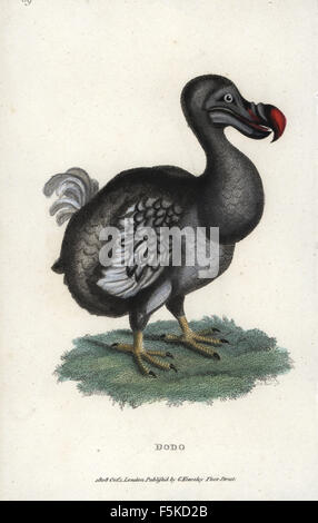 Raphus cucullatus, Dodo, oiseau disparu. La gravure sur cuivre coloriée après une illustration par George Shaw de ses conférences zoologiques, prononcé à l'Institution royale, G. Kearsley, Londres, 1808.