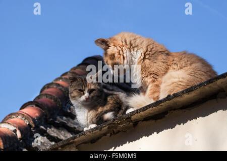 Deux chats,un tabby une couleur rouge et blanc, le soleil sur un toit ensoleillée avec le bleu ciel de l'automne Banque D'Images