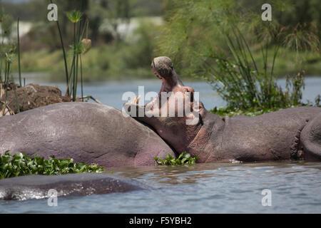 En partie submergé le bâillement d'hippopotames Hippopotamus amphibius Lake Naivasha au Kenya Banque D'Images
