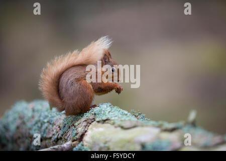 L'Écureuil roux, Sciurus vulgaris manger unique écrou; Ecosse; UK Banque D'Images