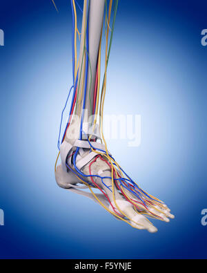 Illustration de l'exacte sur le plan médical l'anatomie du pied Banque D'Images