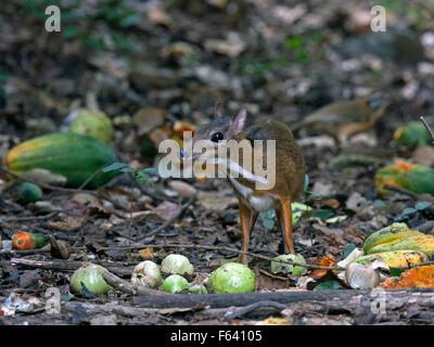 Une timide petite souris Deer manger des fruits sur le sol de la forêt dans l'ouest de la Thaïlande