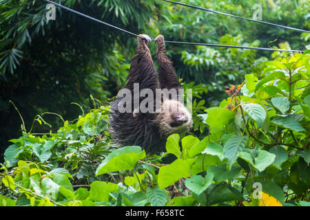 Sloth paresseux au Panama Banque D'Images