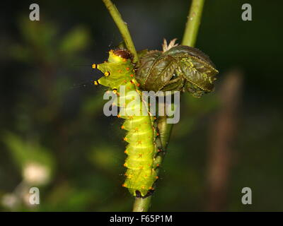 Caterpillar piquant sur une plante. Papillon de lune indienne ou indien luna moth, Actias selene Banque D'Images