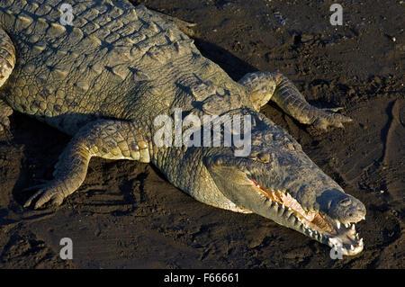 Crocodile (Crocodylus acutus) reposant sur une rivière avec la bouche ouverte pour se réchauffer béant