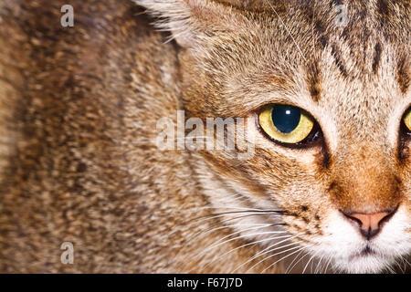 oeil de chat Banque D'Images