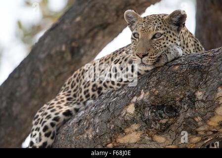 Belle femme leopard (Panthera pardus) reposant dans l'arbre dans la lumière du soleil de l'après-midi dans le Parc Banque D'Images