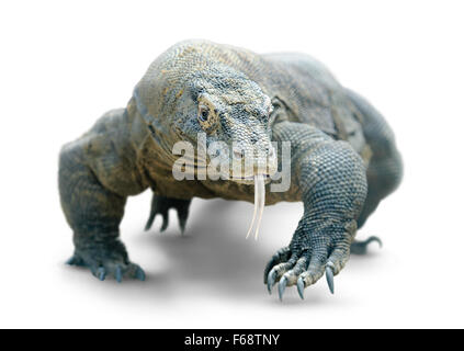 Dragon de Komodo marche isolé sur blanc, with clipping path Banque D'Images