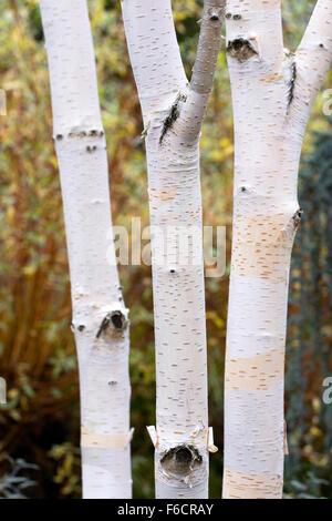 Le Betula utilis var. Écorce Jacquemontii pattern. Bouleau de l'Himalaya de l'Ouest. Banque D'Images