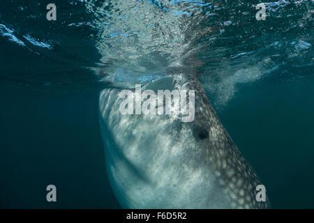 Requin-baleine se nourrit de plancton, Rhincodon typus, La Paz, Baja California Sur, Mexique