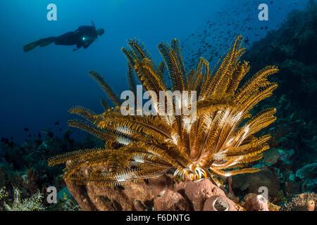 Feather Star dans les récifs coralliens, Oxycomanthus bennetti, Alor, Indonésie Banque D'Images