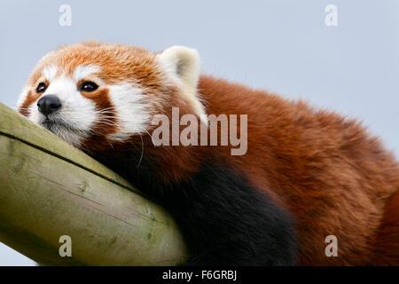 Close up image d'un panda rouge à ennuyer Banque D'Images