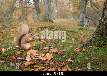 L'Écureuil roux (Sciurus vulgaris) sur la photo de manger une noix dans une forêt dans le Parc National de Cairngorms, Banque D'Images