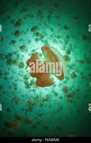 Méduses Mastigias papua or (etpisonii) nager à l'intérieur d'un lac marin dans la République des Palaos. Ces gelées Banque D'Images
