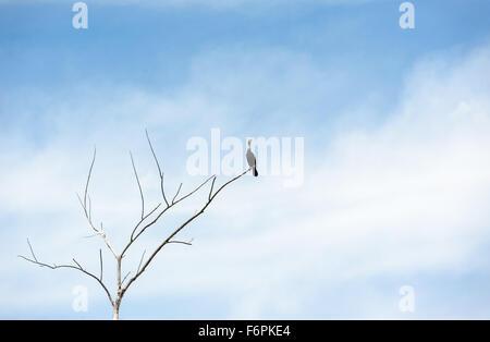 Seul oiseau cormoran noir debout sur une branche d'arbre mort, sans feuilles à sec jusqu'à l'égard copie vide de Banque D'Images