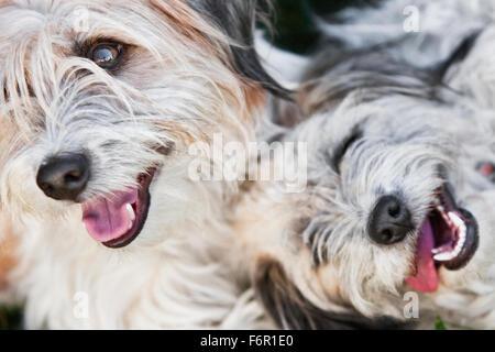 Photos de deux de couleur claire gris blanc souriant des chiens de terrier de Shaggy proches en plongée des bouche Banque D'Images