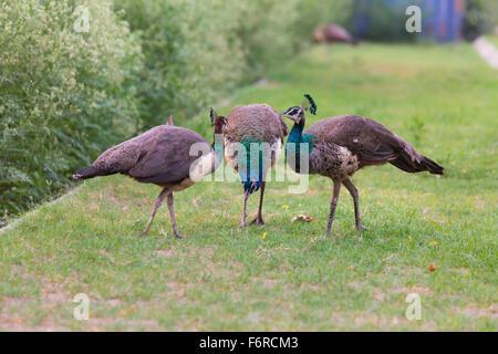 Rare combinaison d'Peafowls