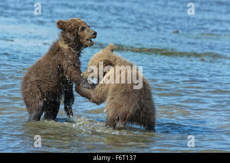 Deux Printemps de l'ours grizzli (Ursus arctos), Cubs, jouer dans l'eau avec l'un de mordre la patte de l'autre, Banque D'Images