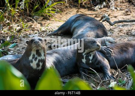 Groupe de loutres de rivière géantes, Pteronula brasiliensis, sur le bord d'une rivière dans le Pantanal, Mato Grosso, Brésil, Amérique du Sud