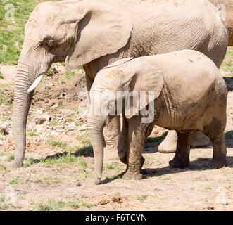 Mère et fille des éléphants d'Afrique. Une grande femelle éléphant marche avec un plus petit éléphant jeunes tant avec leur tronc vers le bas