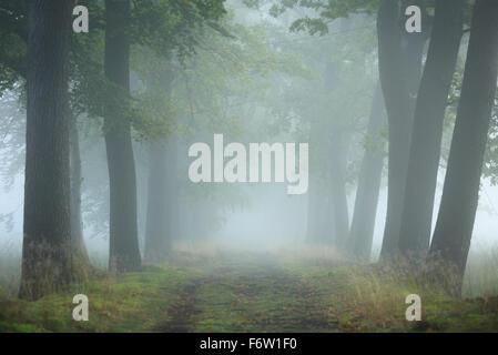 Lane des arbres pendant un matin brumeux au début de l'automne. Banque D'Images