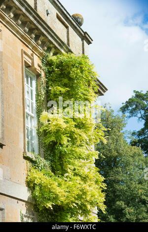 Une escalade sur une glycine Cotswold country house à la fin de l'été après la floraison UK Banque D'Images
