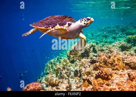 - La tortue imbriquée Eretmochelys imbricata flotte sous l'eau. Les récifs coralliens de l'océan Indien aux Maldives. Banque D'Images