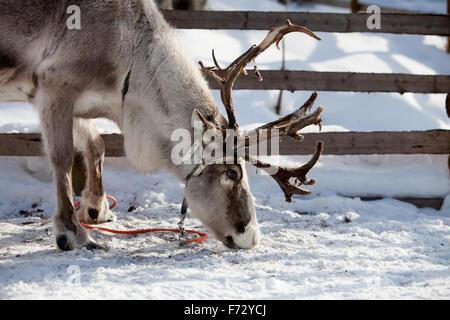 Manger du renne en Laponie finlandaise