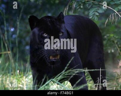 Hommes Sud Américain Jaguar (Panthera onca) sur le prowl