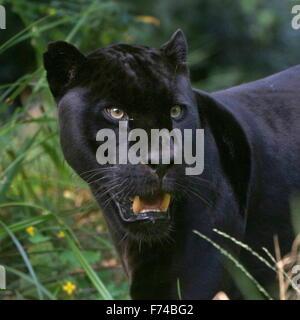Gros plan de la tête d'un homme noir d'Amérique du Sud Jaguar (Panthera onca), face à huis clos