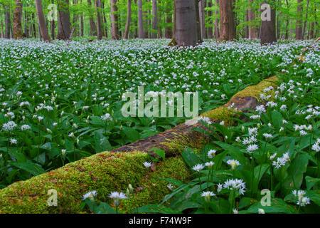 Couvert de mousse tombé de billes et de l'ail / ramsons / ail sauvage (Allium ursinum) forêt de hêtres en floraison Banque D'Images