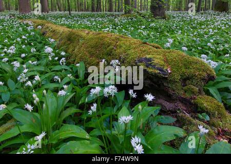 Couvert de mousse pourri tombé de billes et de l'ail / ramsons / ail sauvage (Allium ursinum) forêt de hêtres en Banque D'Images