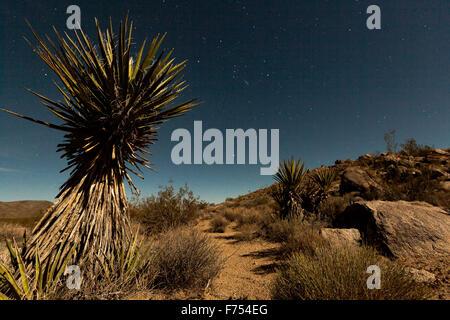 Yucca arbre dans le clair de lune Banque D'Images