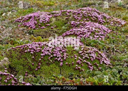 Le silène acaule, coussin rose, Silene acaulis