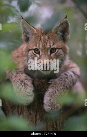 Portrait of Young cub de Lynx Boréal / Eurasischer Luchs (Lynx lynx ) couché dans un arbre, regard sérieux, pattes Banque D'Images