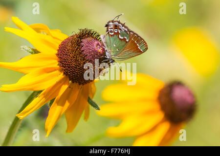 Hairstreak Callophrys gryneus, Juniper, qui se nourrit d'une Blackeyed Susan, Rudbeckia hirta