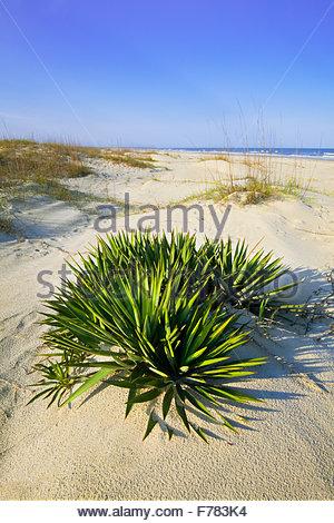 "Dague 'Spanish' [Yucca Gloriosa] dans 'Set dunes"" sur ""Cumberland Island' [Cumberland Island National Seashore] Banque D'Images"