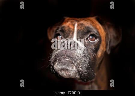 Boxer dog menton, nez, yeux bruns, tête vers le haut hors de l'obscurité Banque D'Images