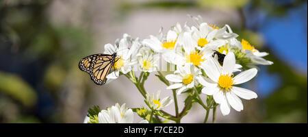 Le monarque se nourrissant de nectar de fleurs Daisy Banque D'Images