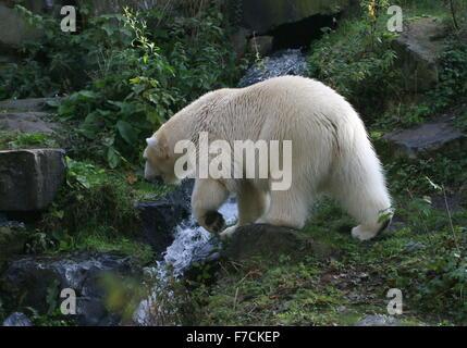 Les ours polaire (Ursus maritimus) explorer, en traversant un petit ruisseau de montagne