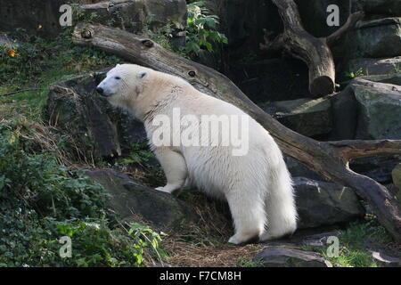 Femelle ours polaire (Ursus maritimus) à l'échelle d'une crête rocheuse