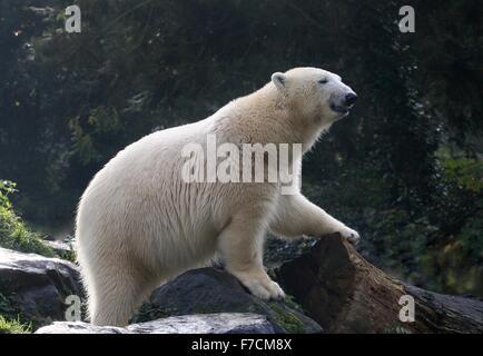 Les ours polaire (Ursus maritimus) explorer