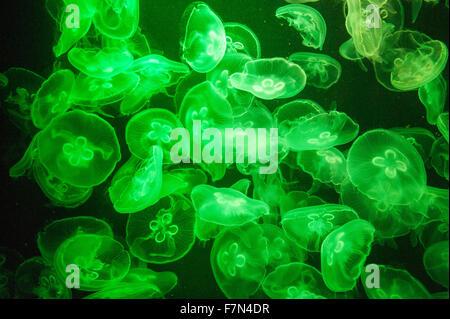L'école de méduses dans un aquarium avec lumière bleue Banque D'Images
