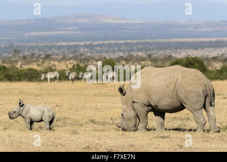 Le rhinocéros blanc (Ceratotherium simum) femelle adulte et au mollet, se nourrir dans les prairies sèches, avec Banque D'Images