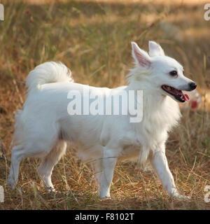 Chien Pomeranian marchant à l'extérieur Banque D'Images